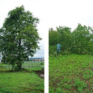 大きくなりすぎた柿の木の伐採(妙高市 T様)