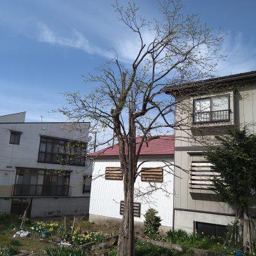 大きくなった柿の木の枝打ち(妙高市 Y様)